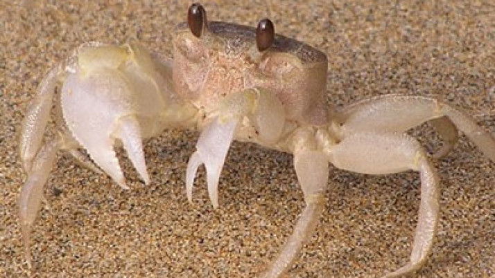 Sand Crab Crawl!